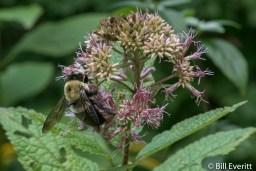Native Bee on Joe-pye Weed