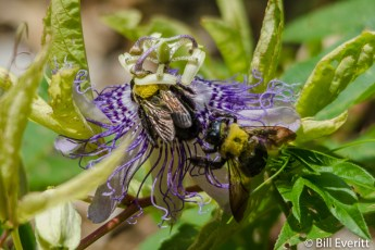 Native Bees on Passion Vine