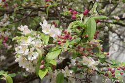 Southern Crabapple