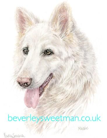 White German Shepherd Dog watercolour painting