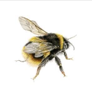 bees-wings