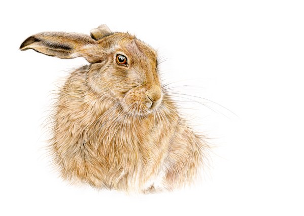 beautiful-hare
