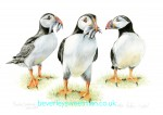 Puffin Watercolour painting