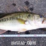 お客様からの釣果:上杉様~野池おかっぱり47cm!!