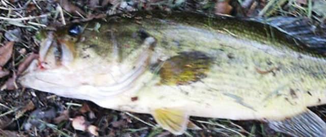 お客様からの釣果:上杉様~野池おかっぱり 釣果写真