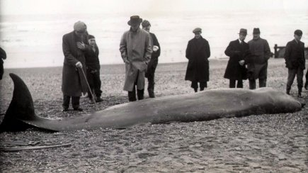 BBE-021 - Bottlenose whale Bexhill beach 25.1.1938
