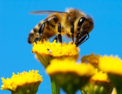 Bal Arıları Hakkında Muhtemelen Bilmediğiniz 10 İnanılmaz Gerçek |  Beyinsizler.net