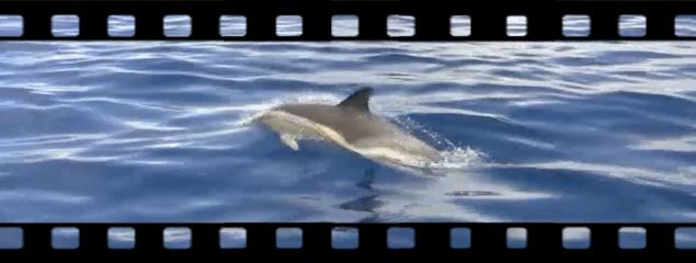Gemeine Delphine vor Pico (Azoren)