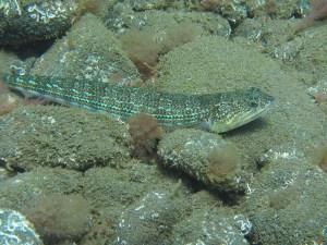 Eidechsenfisch Madeira Portugal
