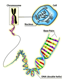 Genes and dna diagram genes and dna diagram ccuart Images