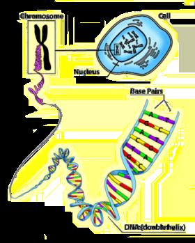 Genes and dna diagram genes and dna diagram ccuart Choice Image