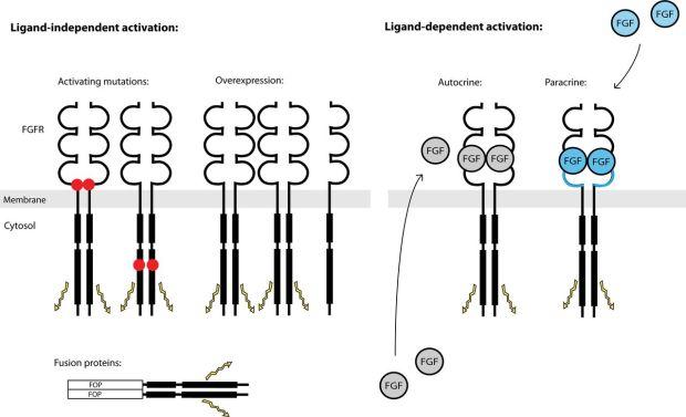 ligands and no ligands FGR3 ACH
