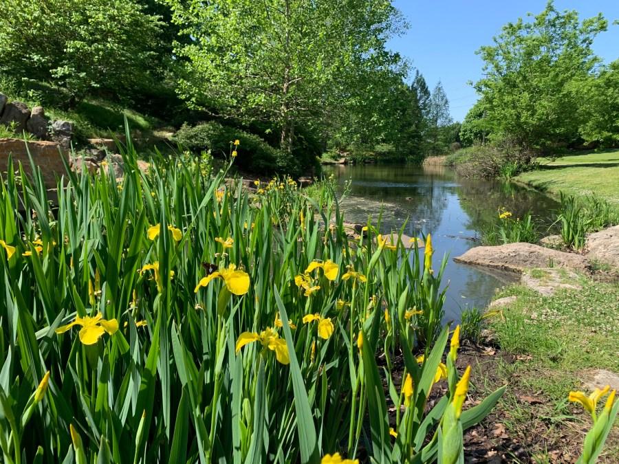 Yellow Flag iris at Woodward Park in Tulsa, OK