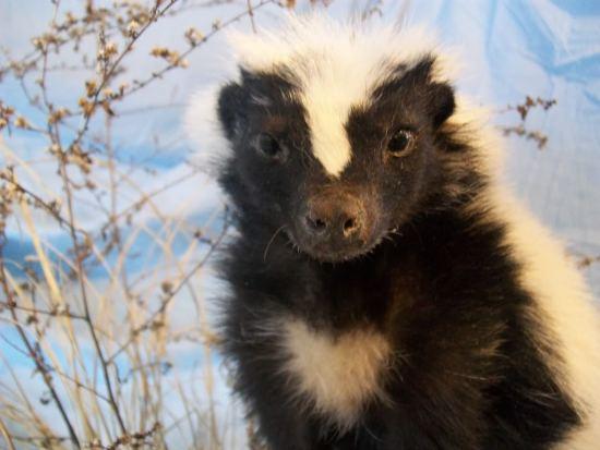 get rid of skunk smell