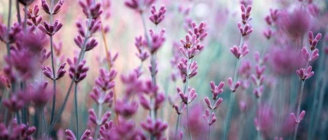 lavender7-2