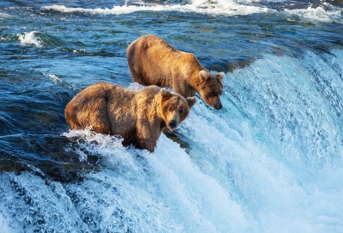alaska bears katmai