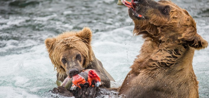 katmai grizzly bears