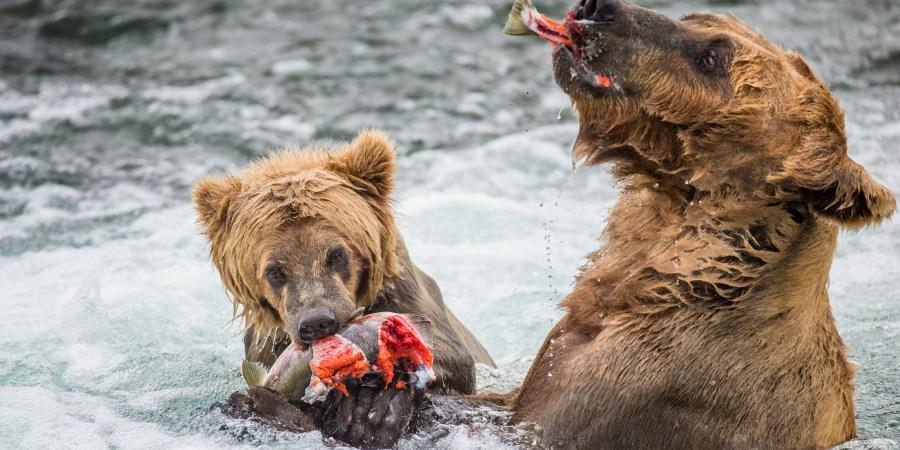 katmai grizzly bears