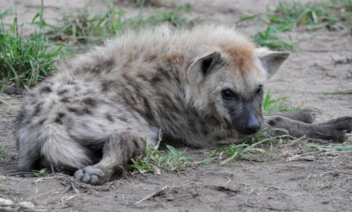 safari hyena pup