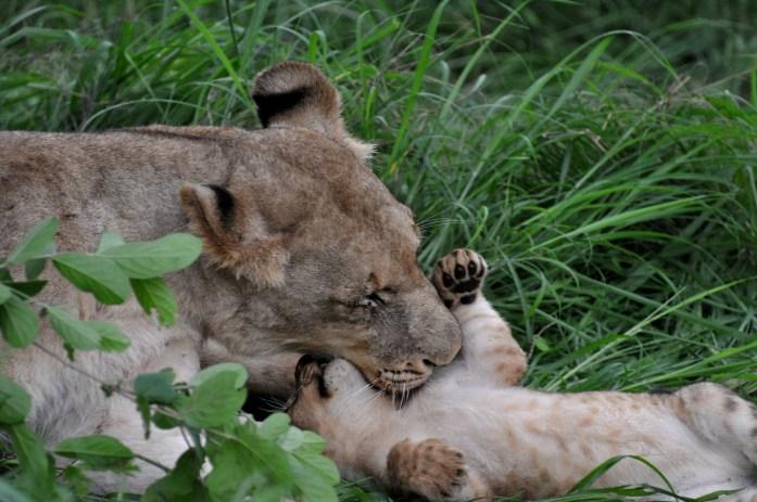 safari lion cub lioness