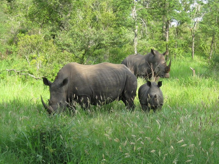 safari white rhinos