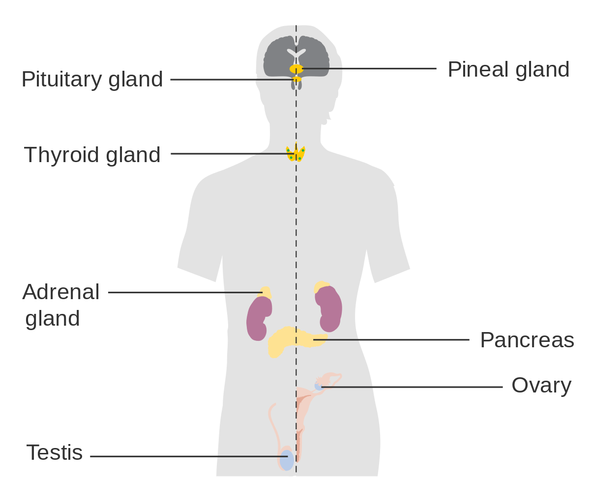 Two Small Glands Many Big Health Problems