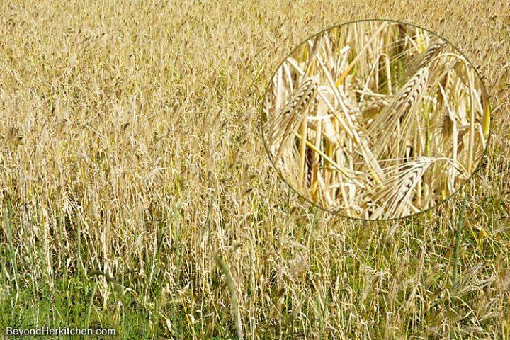 Tibetan food, buddhism, barley field, barley, super foods, tsamp