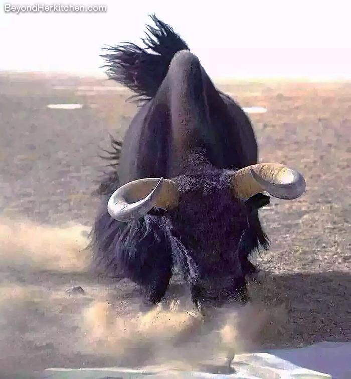 Wild Yak from Amdo, Tibet