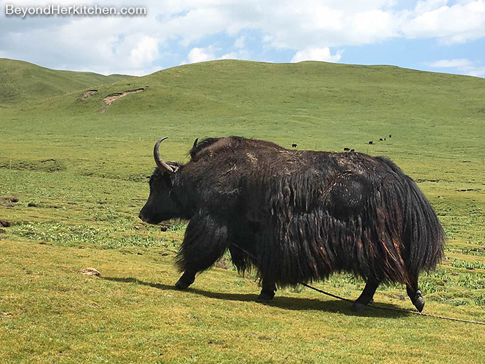 """Dri"" Tibet's female yak"
