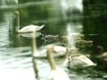 sailing swans4