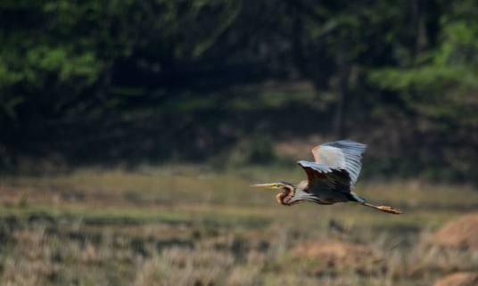 A Purple Heron in Flight