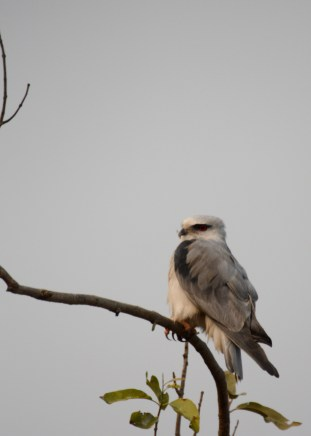 What a beauty! A Black Shouldered Kite, one of the rare birds that can hover midair before sweeping down for the kill