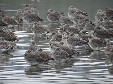 Even more Sleeping Godwits