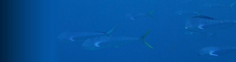 dolphinfish mahi-mahi dolphin