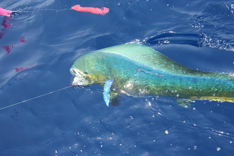 dolphinfish mahi-mahi dolphin common dolphinfish, dolphinfish, mahi mahi, dorado