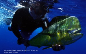 Mahi Mahi, dolphinfish, dorado, dolphin, dolphinfish research program