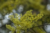 Another Wattle
