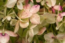 Hydranga Flowerets