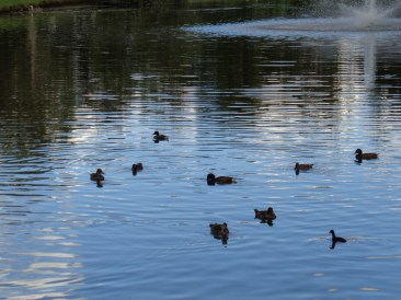 pond - ducks