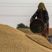 woman dropping seeds on pile