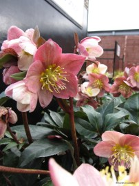 Helleborus Winter Beauty Pirouette