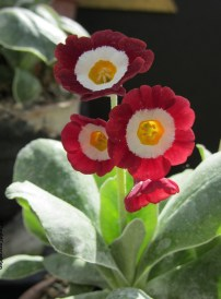 Primula auricula Mohave Red