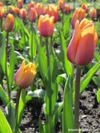 Tulipa Indian Summer