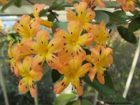 rhododendron Sunny