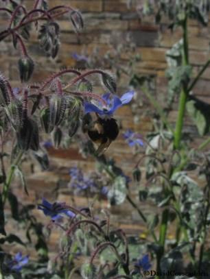 borage flowers-DavidCorscadden