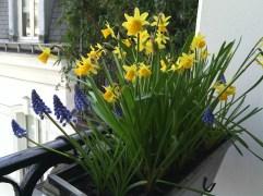 Window box daffodils, March 2015