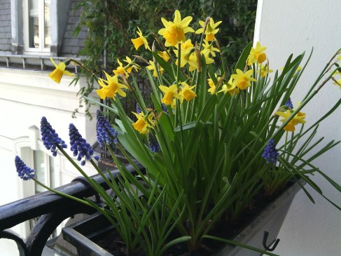 Window box daffodils, March 2015