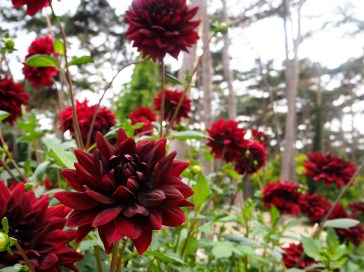 Dahlias in the Parc Floral
