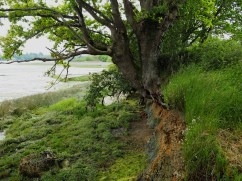 Riverside oak at low tide on the Auray river.