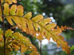 Japanese fern